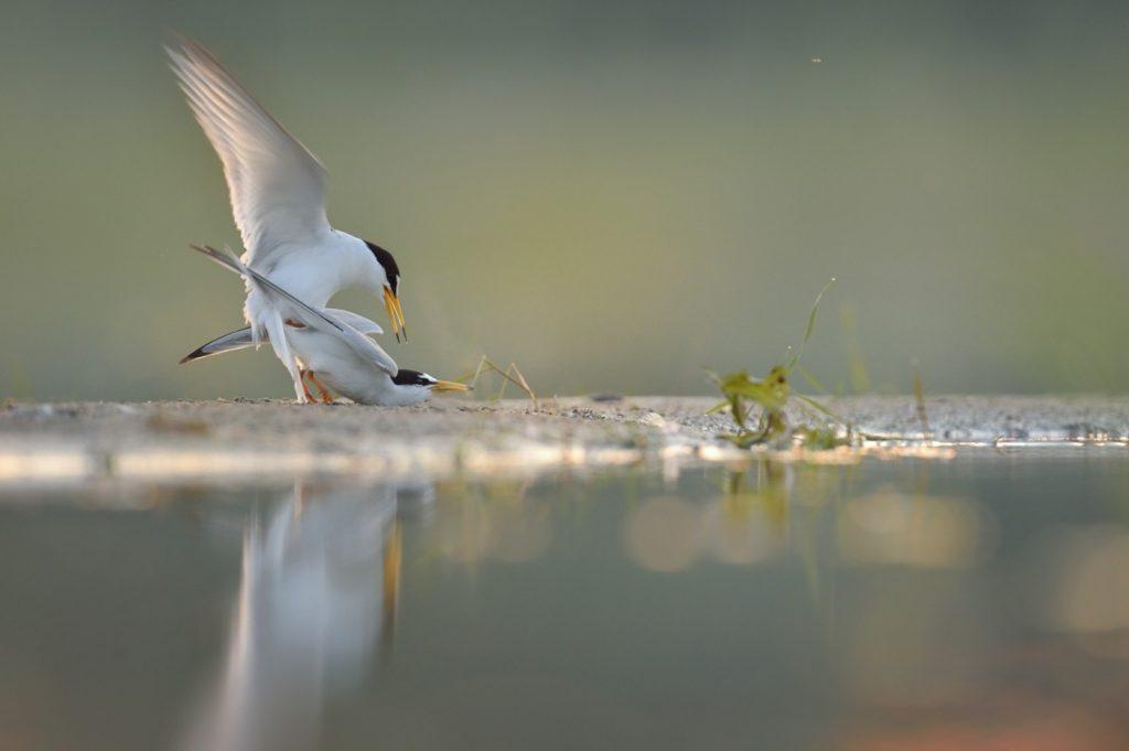 10.-kopulacja-rybitw-bialoczelnych-Kalensko