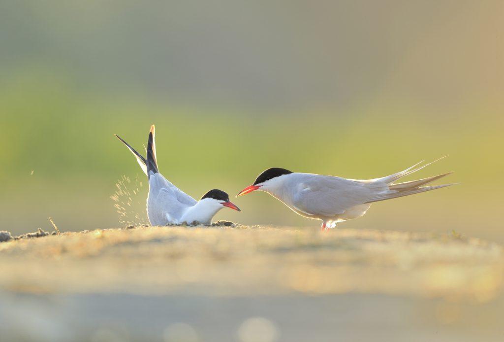 12.-rybitwy-rzeczne-w-chwili-kopania-dolka-gniazdowego