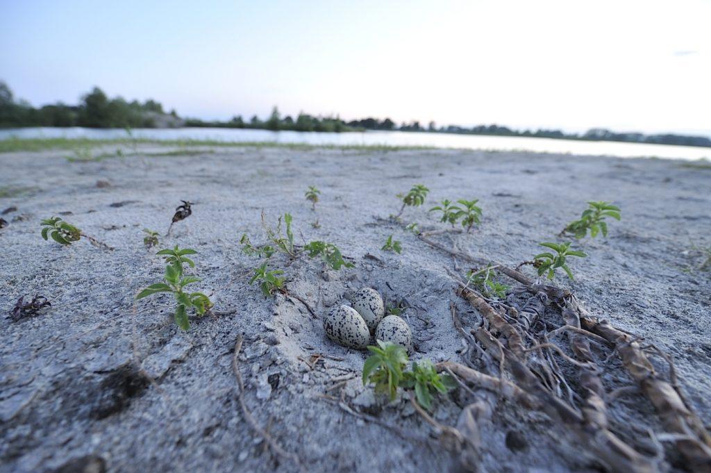 26.-gniazdo-ostrygojada-leg-zostal-zniszczony-po-zejsciu-wody-i-polaczeniu-wyspy-z-ladem-