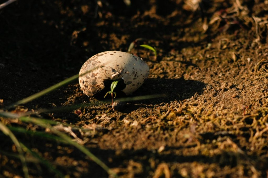 27.-efekt-drapieznictwa-na-jajach-ostrygojada