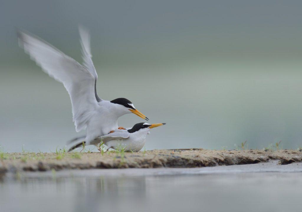 29a.-Kopulacja-w-poblizu-miejsca-gniazdowego.-Jednak-pionowy-ruch-wody-uniemozliwil-skutecznie-proby-wyprowadzenia-legu.-