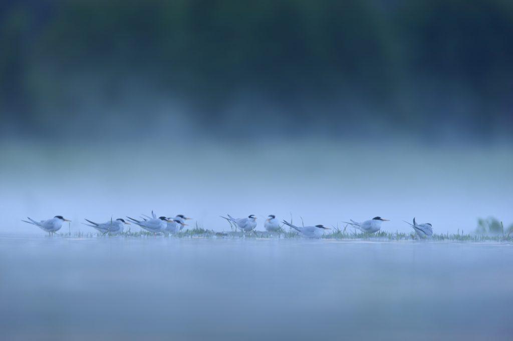 30.-rybitwy-bialoczelne-stojace-na-zalanym-legowisku