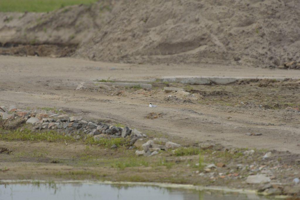31.-Zaplodnione-ptaki-zostaly-wyparte-przez-podnoszacy-sie-poziom-wody-i-w-pospiechu-zalozyly-gniazda-na-gruntowej-drodze-zostaly-zniszczone-przez-pojazdy