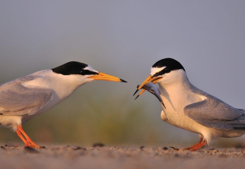 9.-zaloty-rybitw-bialoczelnych-Chlewice